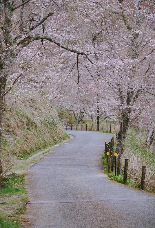 """Cánh rừng với 50.000 cây hoa anh đào ở Nhật Bản, """"nhuộm hồng"""" cả một quả núi và đẹp đến khó tin! - Ảnh 8."""
