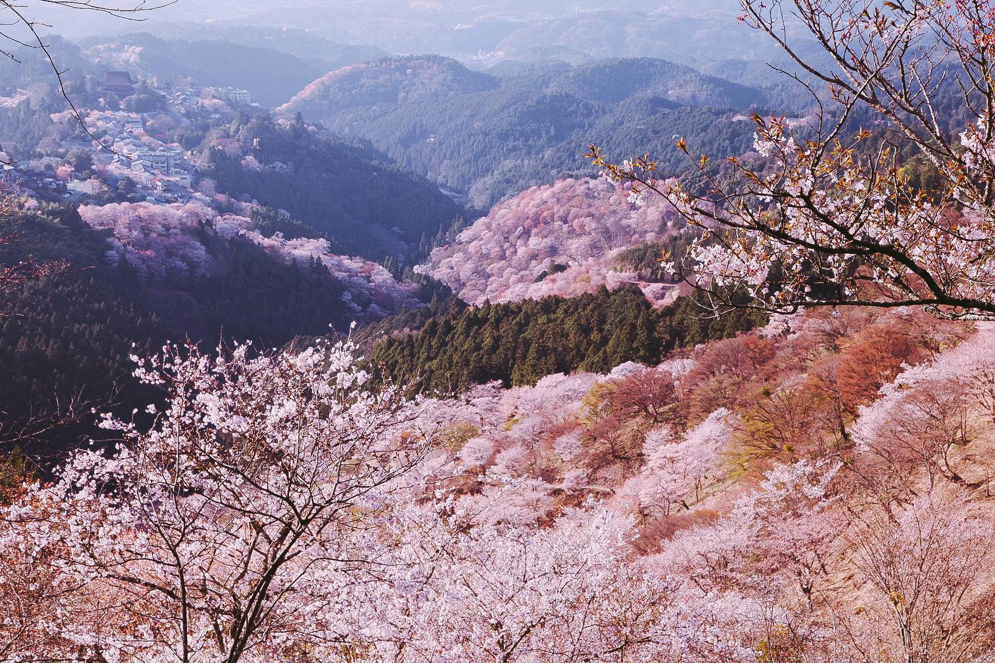 """Cánh rừng với 50.000 cây hoa anh đào ở Nhật Bản, """"nhuộm hồng"""" cả một quả núi và đẹp đến khó tin! - Ảnh 10."""