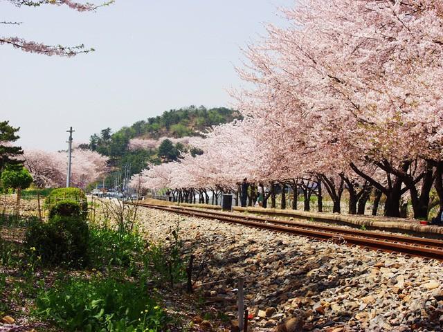 """Đến xứ Hàn, đừng quên """"mục sở thị"""" những thiên đường hoa anh đào tuyệt đẹp này - Ảnh 2."""