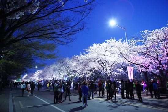 """Đến xứ Hàn, đừng quên """"mục sở thị"""" những thiên đường hoa anh đào tuyệt đẹp này - Ảnh 3."""
