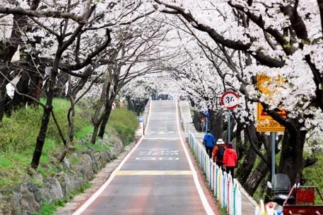 """Đến xứ Hàn, đừng quên """"mục sở thị"""" những thiên đường hoa anh đào tuyệt đẹp này - Ảnh 5."""