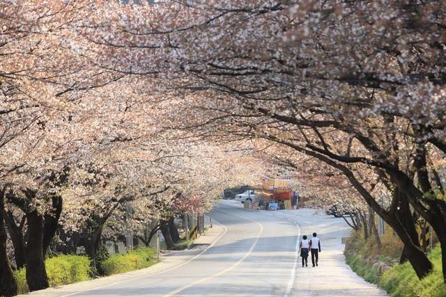 """Đến xứ Hàn, đừng quên """"mục sở thị"""" những thiên đường hoa anh đào tuyệt đẹp này - Ảnh 6."""