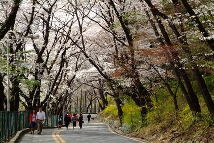 """Đến xứ Hàn, đừng quên """"mục sở thị"""" những thiên đường hoa anh đào tuyệt đẹp này - Ảnh 7."""