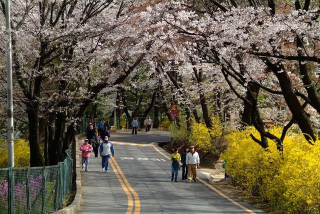 """Đến xứ Hàn, đừng quên """"mục sở thị"""" những thiên đường hoa anh đào tuyệt đẹp này - Ảnh 8."""