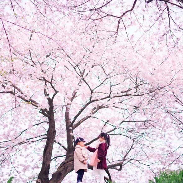 Lướt Instagram từ Âu đến Á là biết mùa hoa anh đào tuyệt đẹp đã thực sự đến rồi! - Ảnh 16.