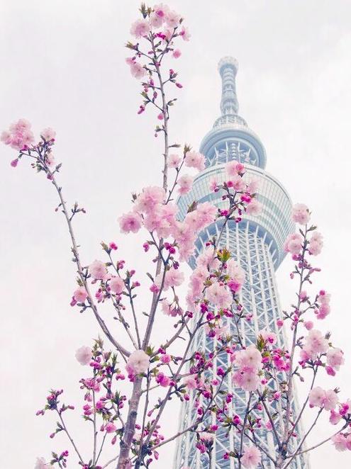Lướt Instagram từ Âu đến Á là biết mùa hoa anh đào tuyệt đẹp đã thực sự đến rồi! - Ảnh 17.
