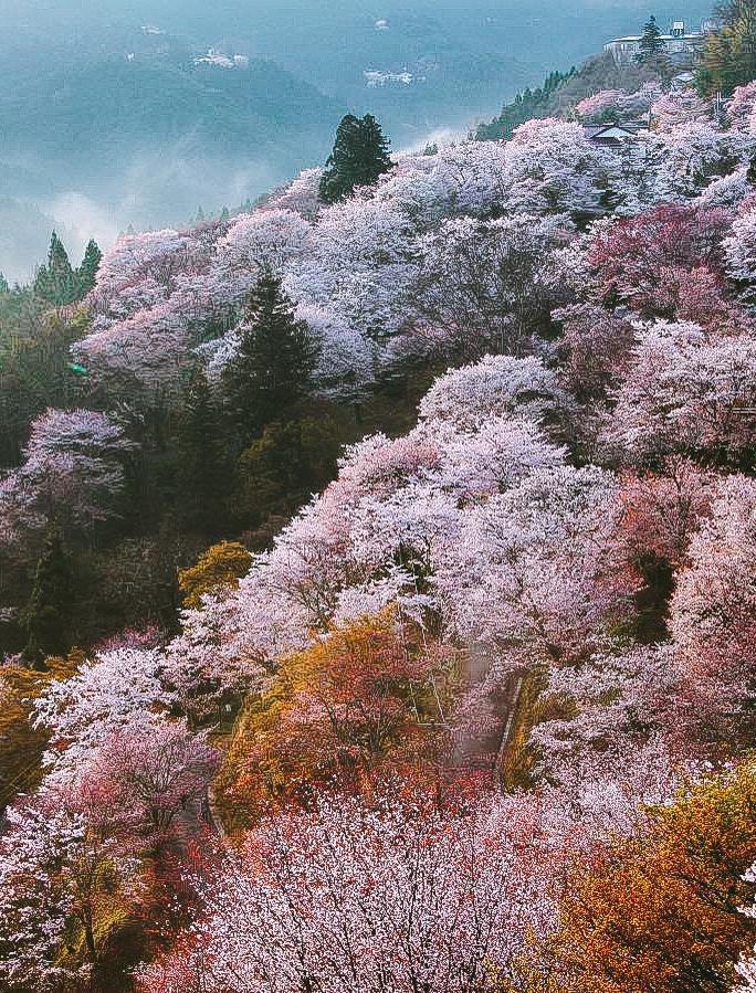 """Cánh rừng với 50.000 cây hoa anh đào ở Nhật Bản, """"nhuộm hồng"""" cả một quả núi và đẹp đến khó tin! - Ảnh 2."""