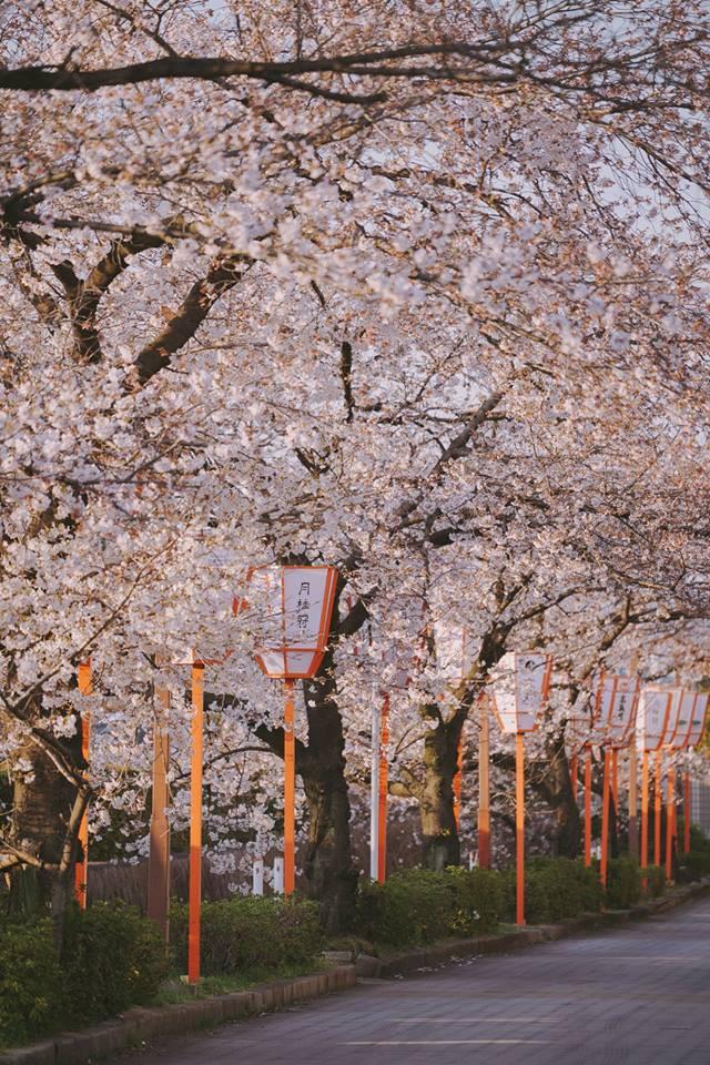 """Cánh rừng với 50.000 cây hoa anh đào ở Nhật Bản, """"nhuộm hồng"""" cả một quả núi và đẹp đến khó tin! - Ảnh 4."""