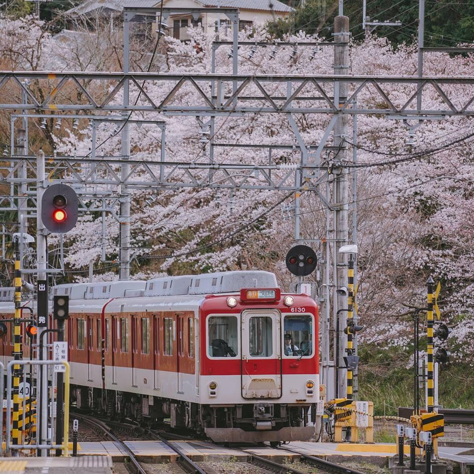 """Cánh rừng với 50.000 cây hoa anh đào ở Nhật Bản, """"nhuộm hồng"""" cả một quả núi và đẹp đến khó tin! - Ảnh 7."""