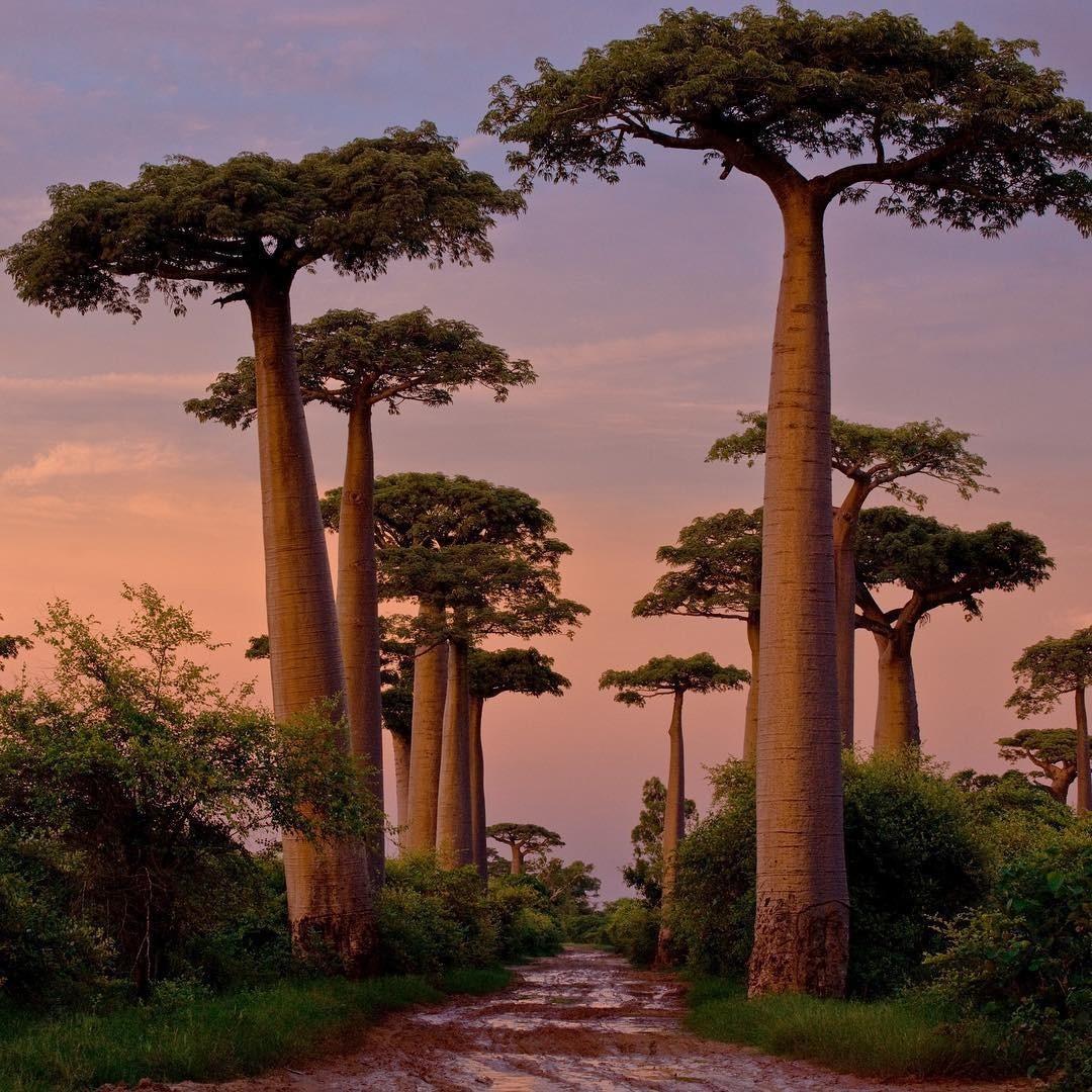 Dính phải lời nguyền phải mọc ngược, rừng cây ở Madagascar nay lại trở thành điểm check-in xịn xò của giới blogger du lịch - Ảnh 11.