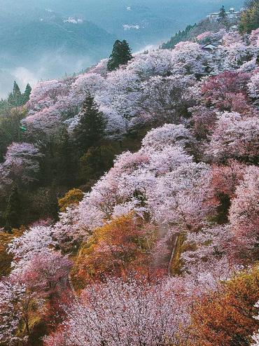 """Cánh rừng với 50.000 cây hoa anh đào ở Nhật Bản, """"nhuộm hồng"""" cả một quả núi và đẹp đến khó tin!"""