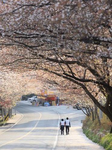 """Đến xứ Hàn, đừng quên """"mục sở thị"""" những thiên đường hoa anh đào tuyệt đẹp này"""